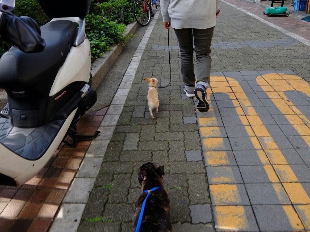チワワ ちょび 合宿_7604