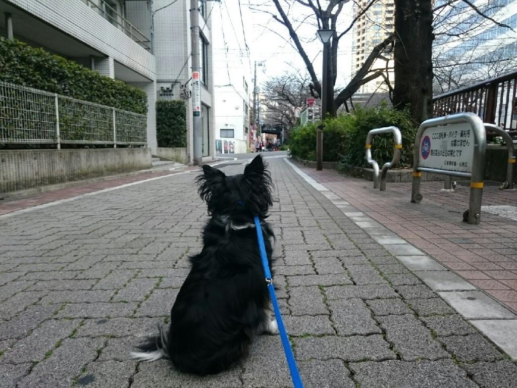 チワワ マロ合宿 201602_9373