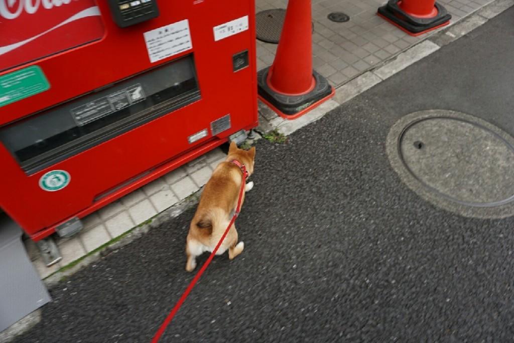 柴犬合宿 麦_2341