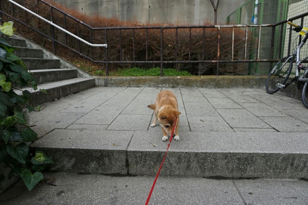 柴犬合宿 麦_5855