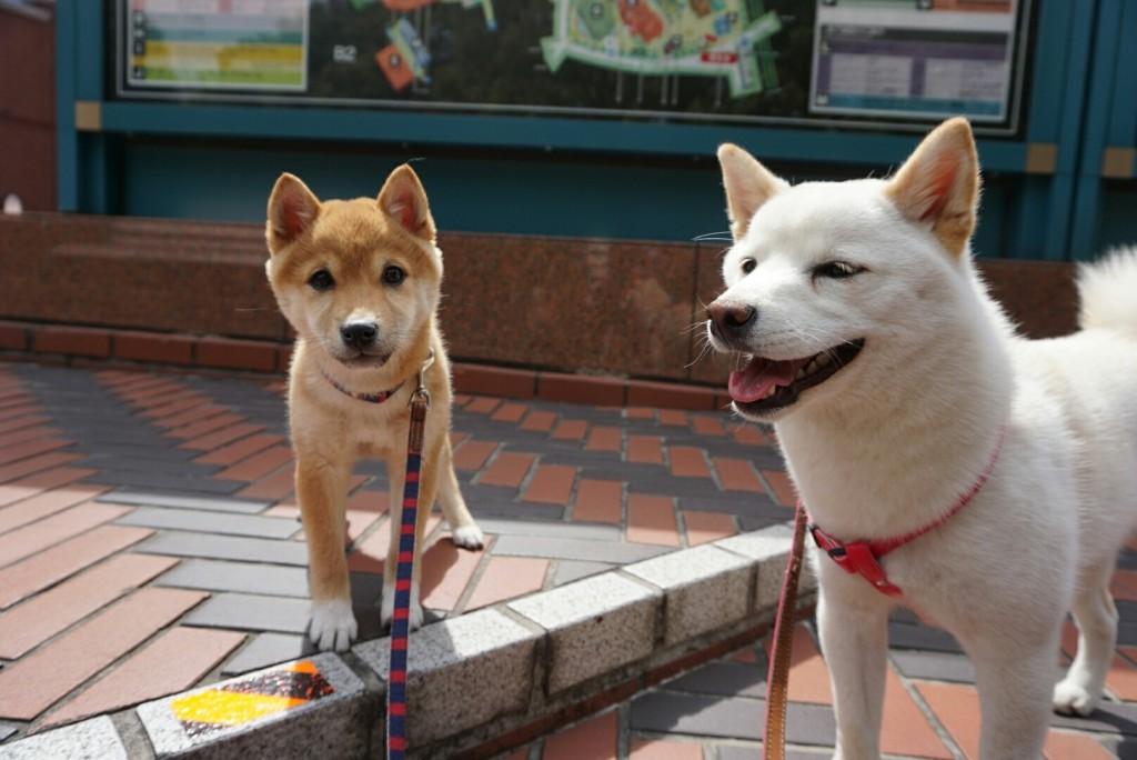 合宿 柴犬 がんも_2081