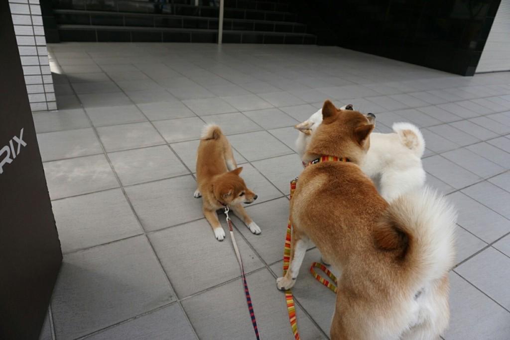 合宿 柴犬 がんも_5213