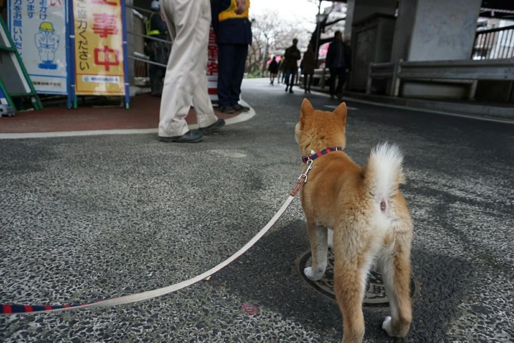 合宿 柴犬 がんも_7013