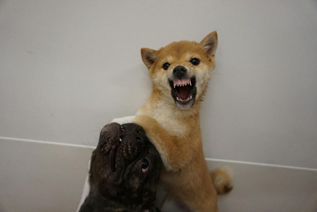 合宿 柴犬 がんも_9492
