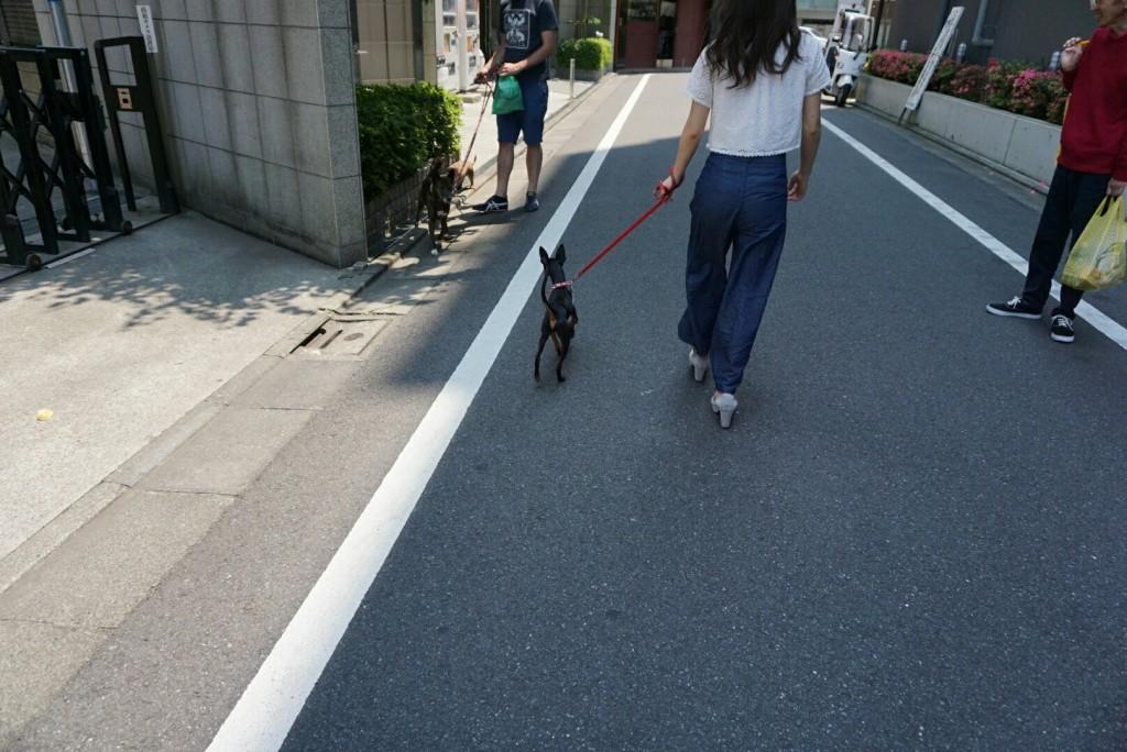 トイマンチェスターテリア るーくん合宿_7742