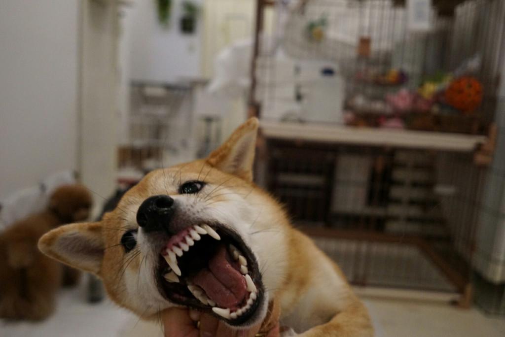 柴犬 はっぱ合宿_170728_0062