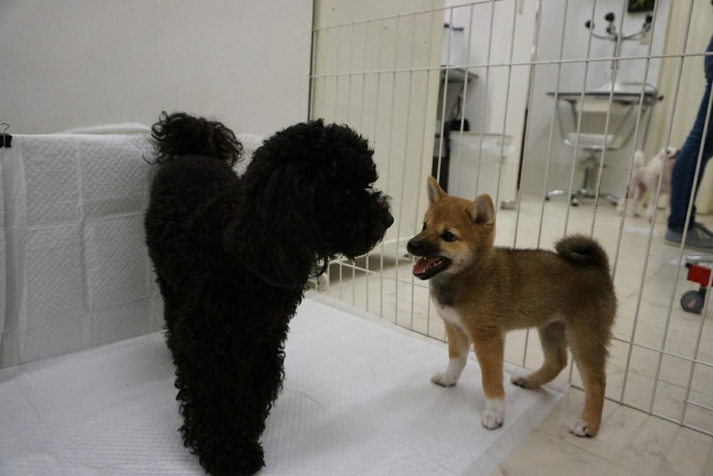 柴犬 まりちゃん合宿_170725_0019