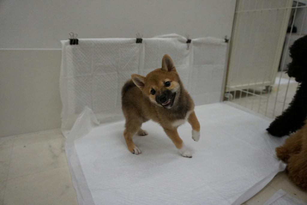 柴犬 まりちゃん合宿_170725_0030