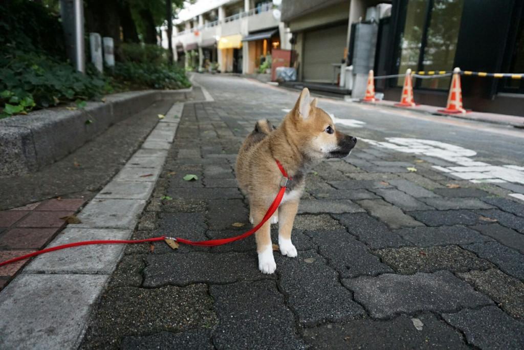 柴犬 まりちゃん合宿_170725_0032