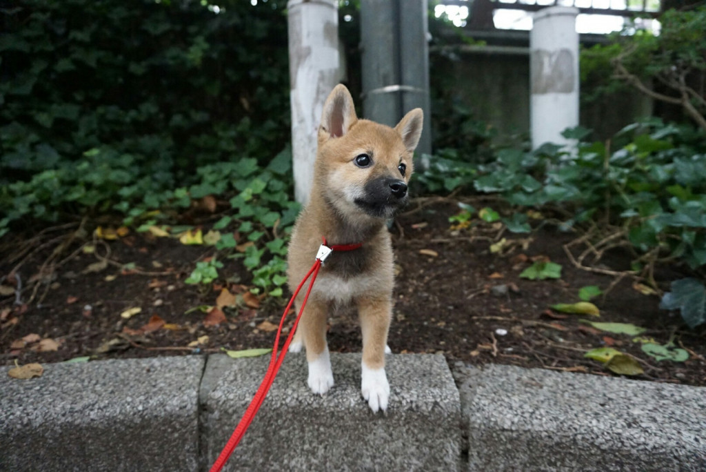 柴犬 まりちゃん合宿_170725_0035