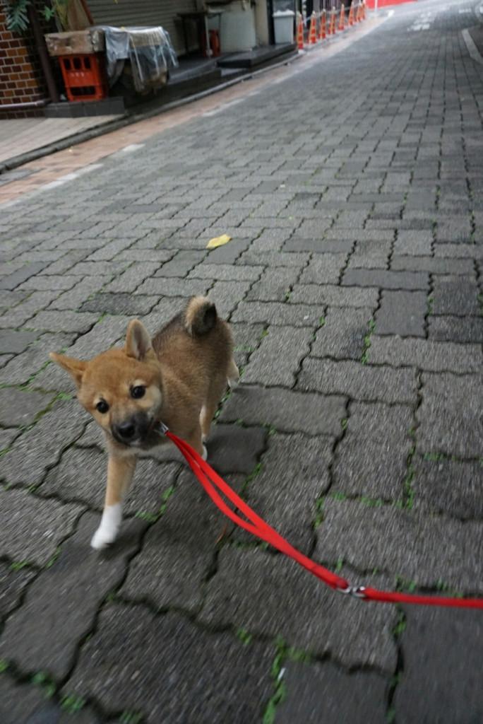 柴犬 まりちゃん合宿_170725_0036