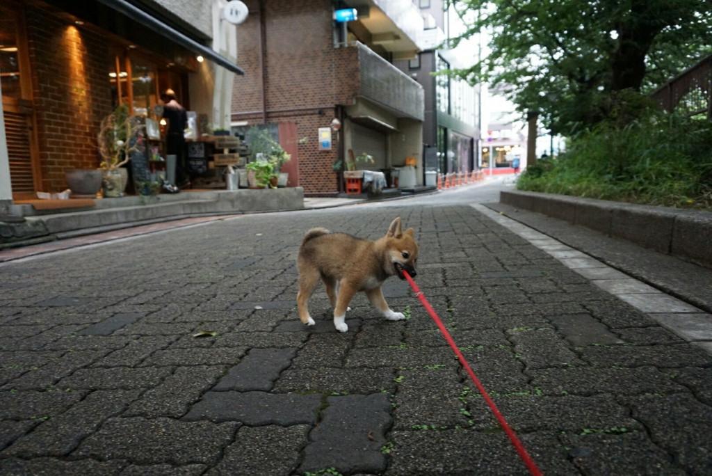 柴犬 まりちゃん合宿_170725_0037