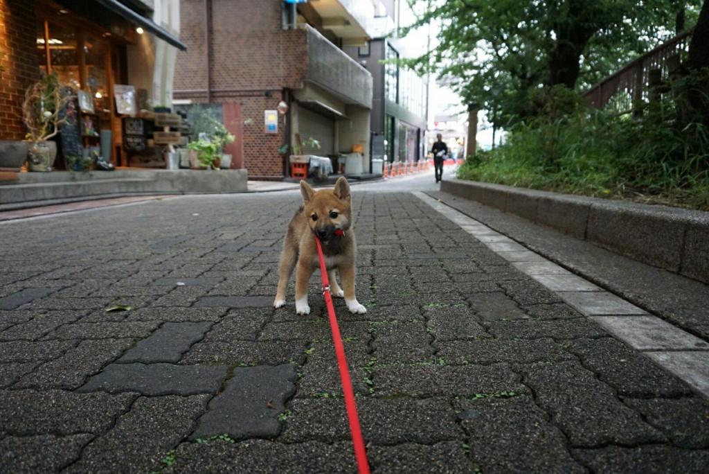 柴犬 まりちゃん合宿_170725_0038