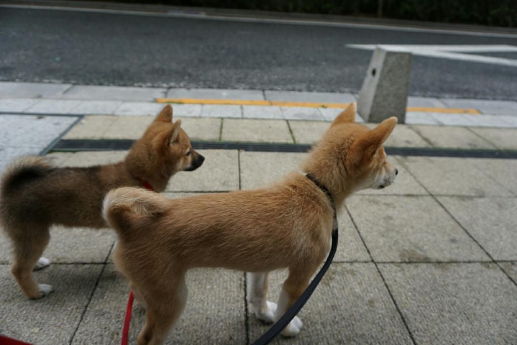 柴犬 まりちゃん合宿_170725_0048
