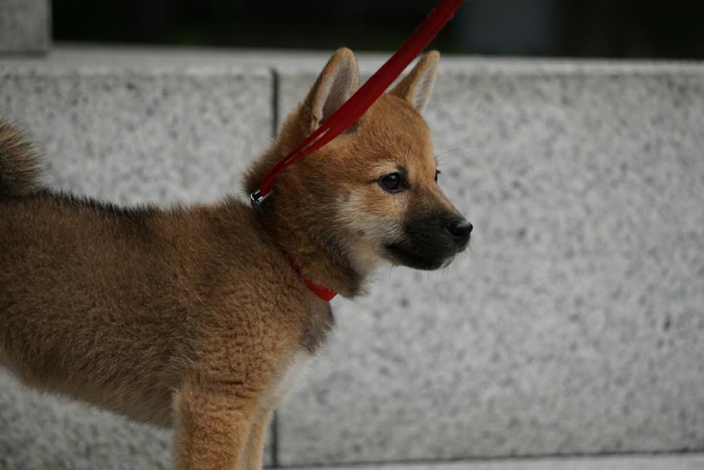 柴犬 まりちゃん合宿_170725_0051