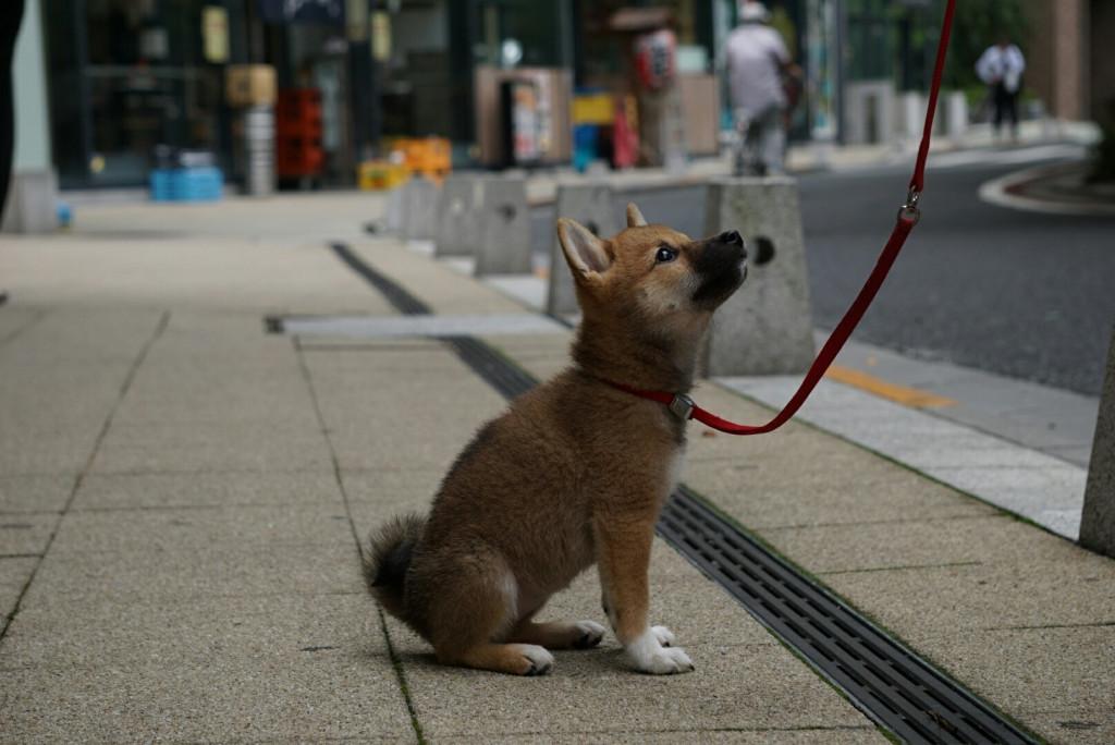 柴犬 まりちゃん合宿_170725_0054
