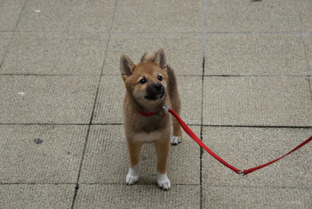 柴犬 まりちゃん合宿_170725_0062_0