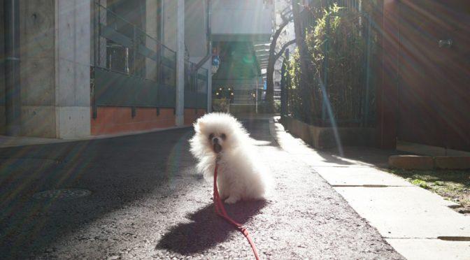 寝ずに吠えて暴れる白ポメの子犬の成長日記。 , UG DOGS アトラスタワー中目黒店 店長日誌
