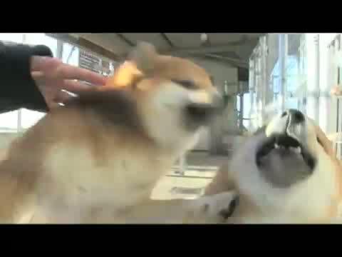 ロイヤルカナン 柴犬 成犬用 8kg動画1