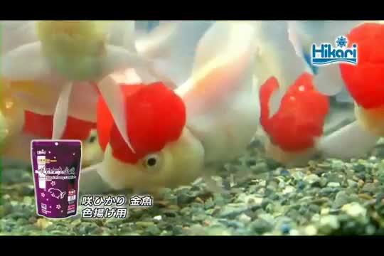 キョーリン 咲ひかり金魚 色揚用 沈下 1kg動画1
